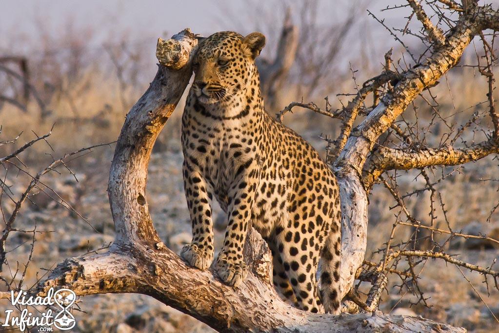 Leopardo en P.N. Etosha