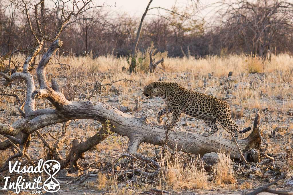 Foto leopardo para viajar a Namibia