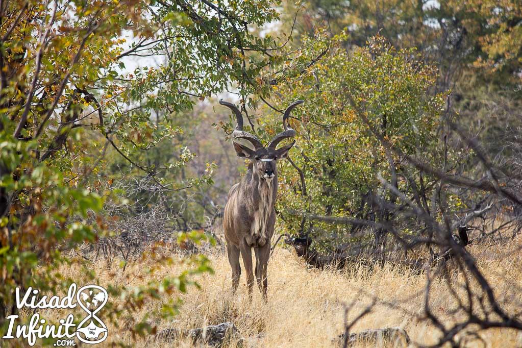 Foto de Kudu para viajar a Namibia