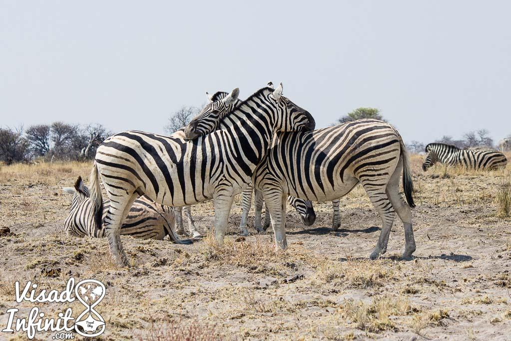 foto de cebras en nuestro viaje a Namibia
