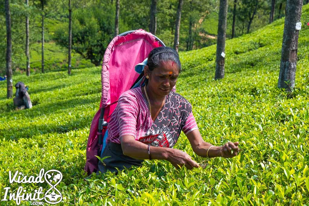 Plantación de té Pedro's Tea