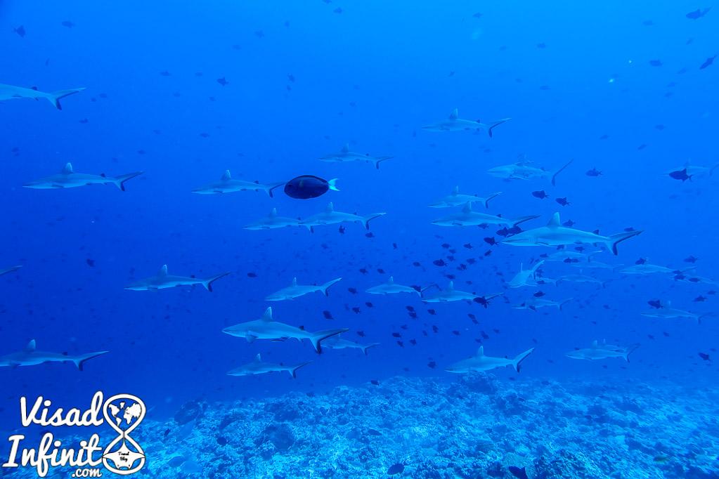 Buceo con Tiburones en Fulidhoo