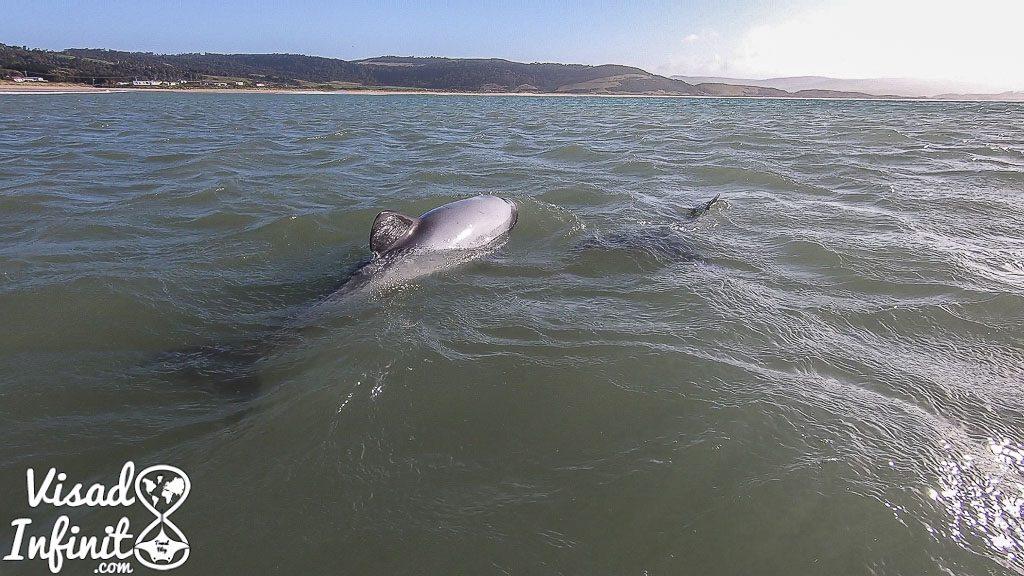 día a día en Nueva Zelanda - Hector Dolphin